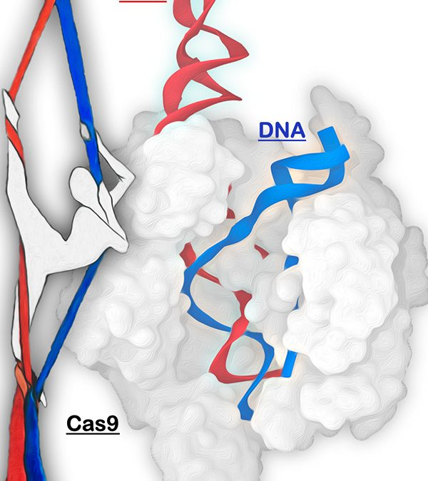 CRISPR Simulation Points to Improved DNA Editing, Gene Therapy