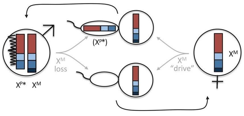 Bridges & Bridges-2 Power Discovery of Two-X-Chromosome Male Voles