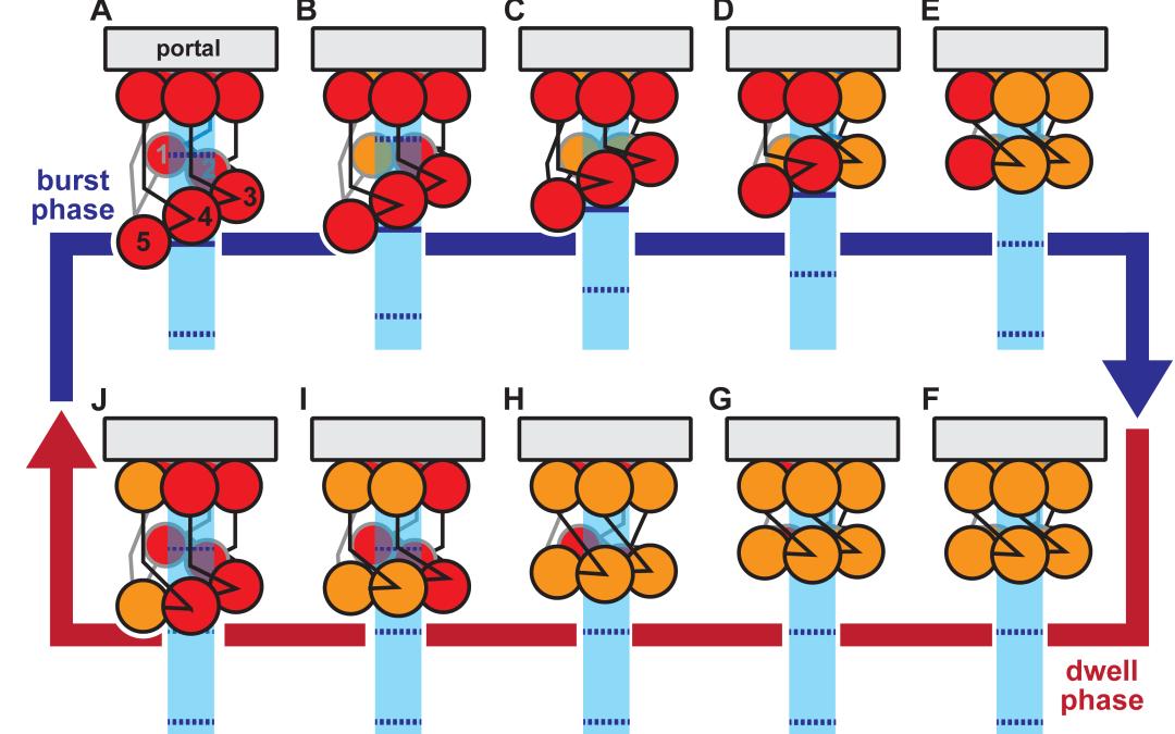 Anton 2 Simulations Explain Mechanism for Loading DNA into Virus